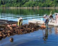 Mussels farmed in coastal areas and in the open ocean are one of the most promising sectors of the U.S. marine aquaculture industry. In this photo, workers from Taylor Shellfish Farms in Shelton, Washington, harvest a mussel raft.